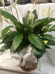 Medium Peace Lily in Wicker Basket with Bow from Amy's Flowers and Gifts in Dallas, GA