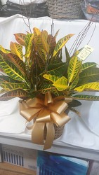 Medium Croton Plant in Wicker Basket with Bow from Amy's Flowers and Gifts in Dallas, GA