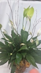 Small Peace Lily in Wicker Basket from Amy's Flowers and Gifts in Dallas, GA